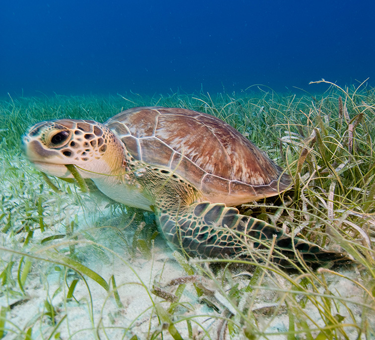 Sea turtle on sea grass bed